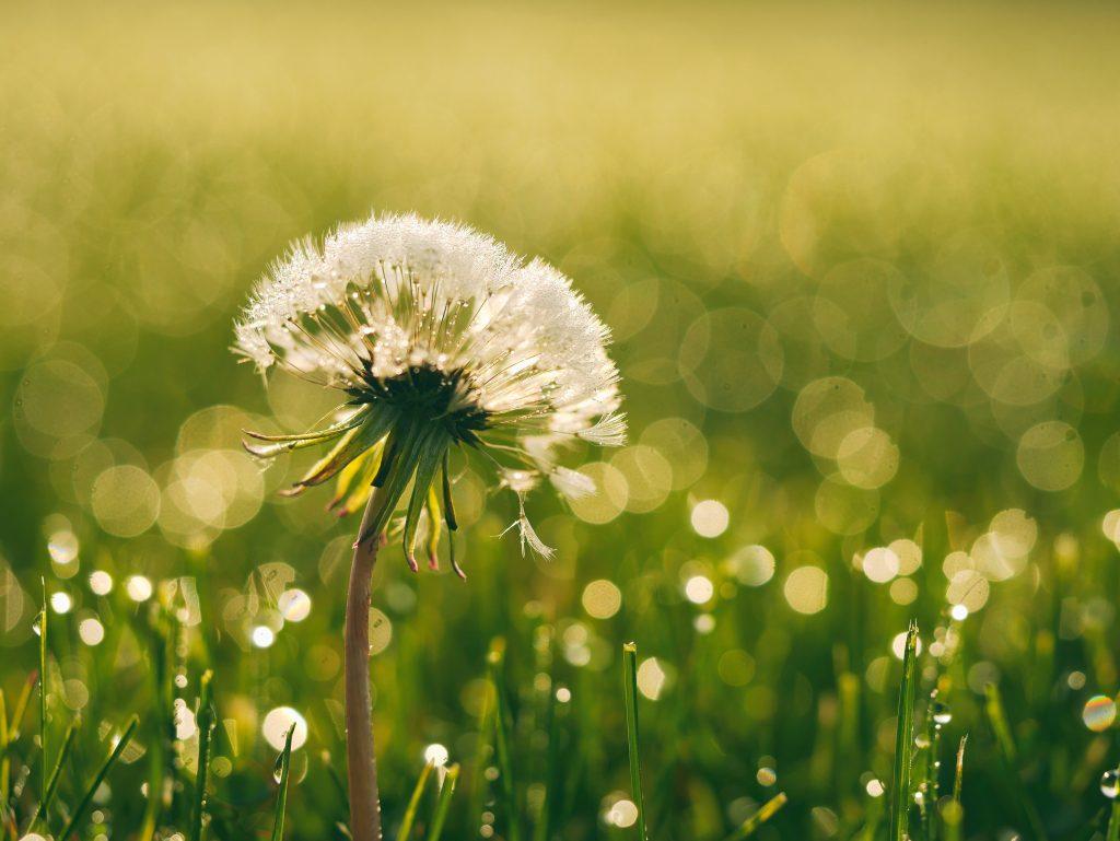 dandelion seeds still on the stem in a meadow